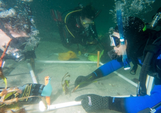 SCUBA divers replanting seagrass fragments