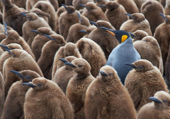 An adult penguin among many penguin chicks