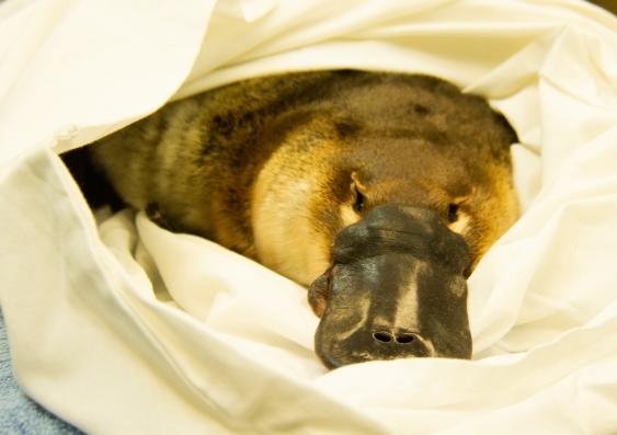 Platypus has final health check at Taronga Wildlife Hospital