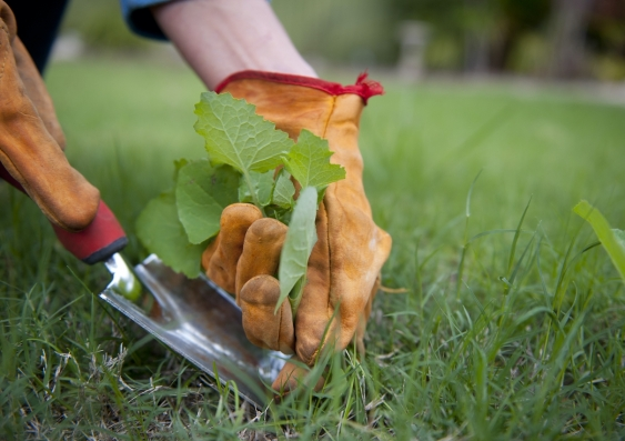 pulling a weed out of the grass