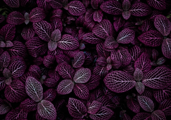 Symmetry in purple leaves