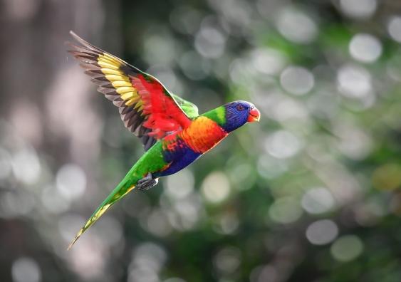 raindbow lorikeet