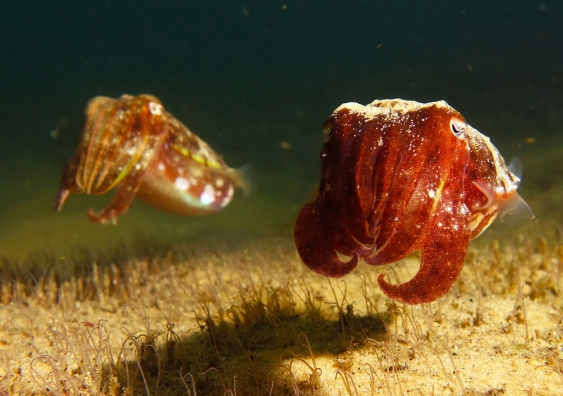 Two mourning cuttlefish in a reddish-brown colour
