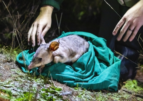 Releasing Bilby back in the Taronga Sanctuary at Dubbo