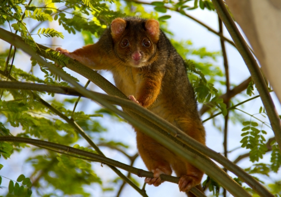 ringtail_possum._brisbane.jpg