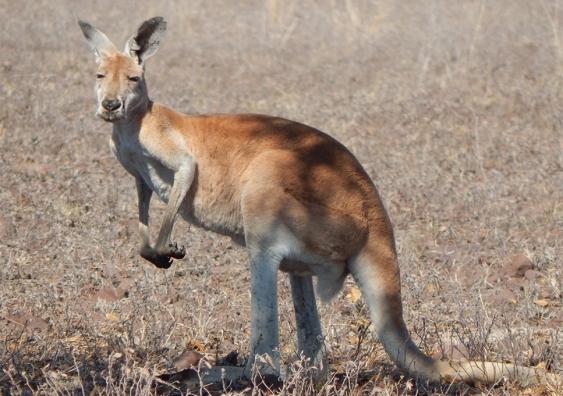 Kangaroo in dry landscape