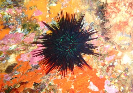 sea_urchin_at_south_east_bay_three_kings_islands_pa121527.jpg