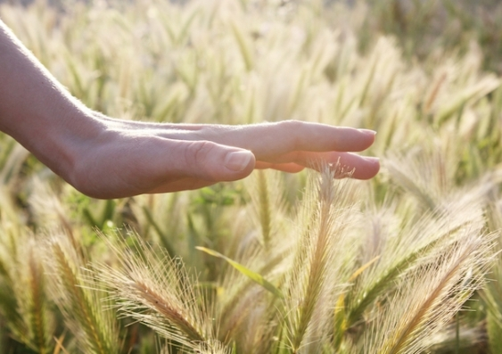 A human hand hovers over a field of wheat