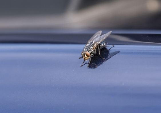 fly on car.jpg