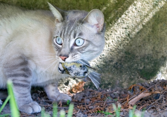 Feral cat with dead bird