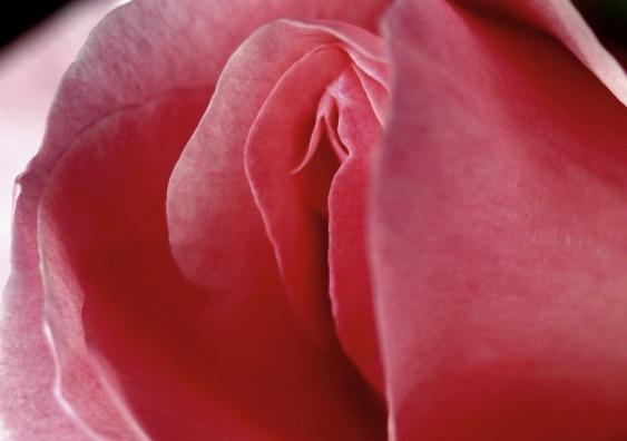 clitoris rose