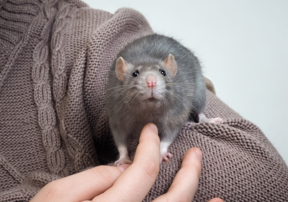 Rat being tickled.