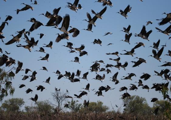 Straw-necked ibis in flight