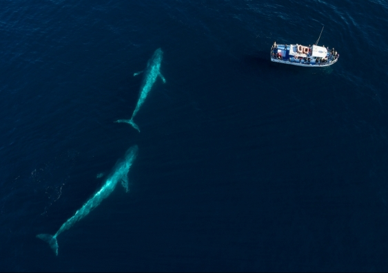 Two blue whales and boat seen from aerial view