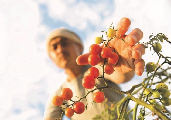 migrant worker fruit picking.jpeg