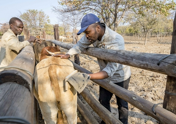 Farmers painting on eyes to cattle rumps