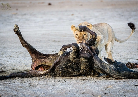 Lion attacks livestock