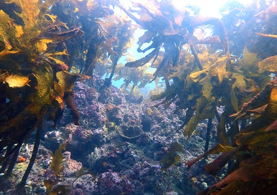 A kelp forest on a temperate reef