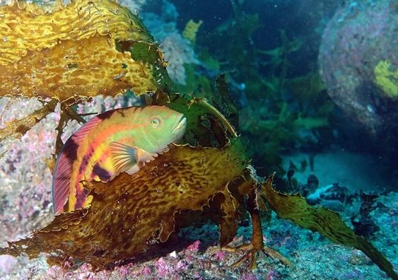 A colourful senator wrasse fish hides itself among kelp fronds