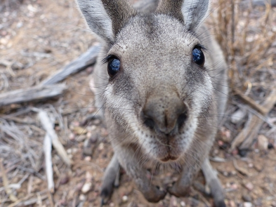 Close up of an inquisitive bridled nail tail wallaby