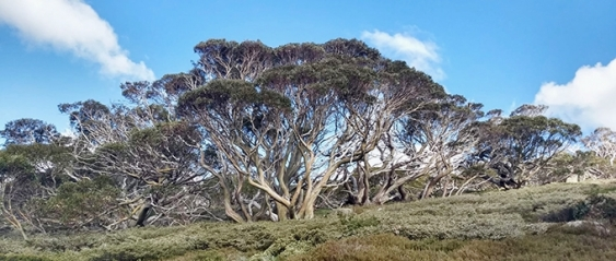 Gum trees atop a hill surrounded by mountain vegetation against a blue sky