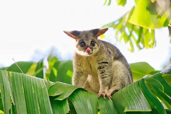 A possum balances on the top of a palm tree leaf.