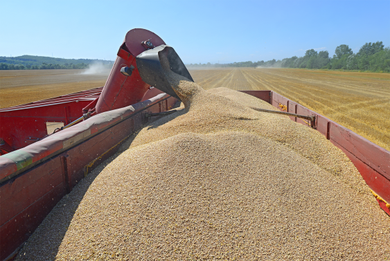 Barley grain being loaded into the back of a truck. Image: Shutterstock