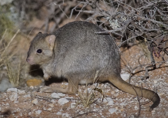 bettong_hugh_mcgregor.jpg