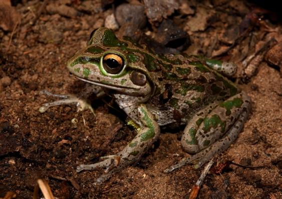 Motorbike Frog