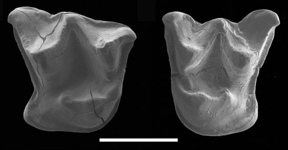 mystacina_miocenalis_fossil_teeth.jpg