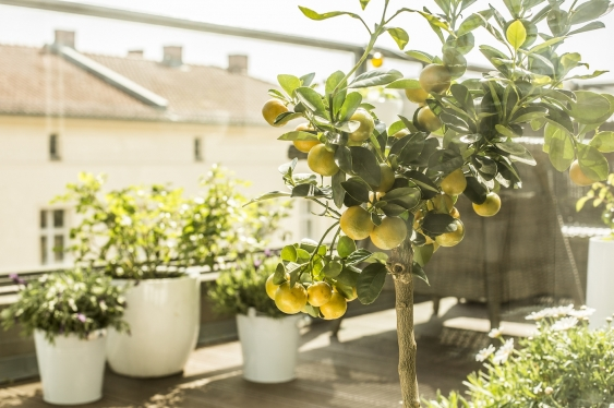 pots and fruit tree on balcony