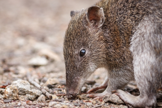 southern brown bandicoot.jpg