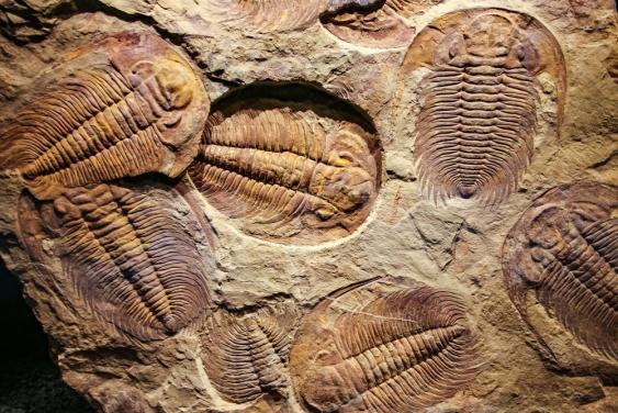 500 million year old trilobites
