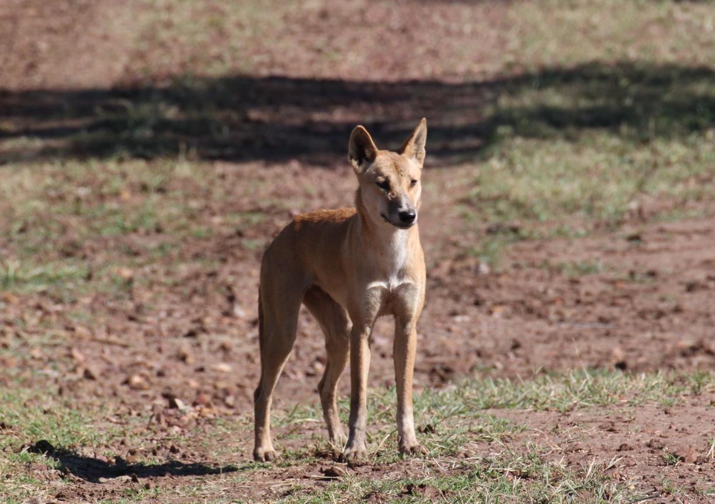 Dingo 3 0