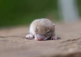 Baby mouse sleeping