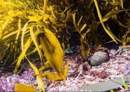 Crayweed babies on the ocean floor