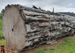 A section of the ancient Ngāwhā kauri log lying on its side