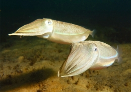 Two mourning cuttlefish in a silvery colour