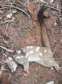 Dead quoll