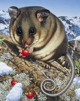 Artwork showing Mountain Pygmy-possum in alpine environment eating berries