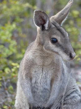 A bridled nailtail wallaby stands up looking alert