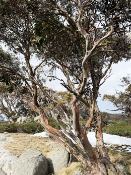 Twisted trunks of snow gums with a patch of snow visible behind it
