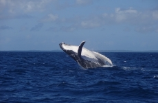 Humpback whale breaks the water's surface