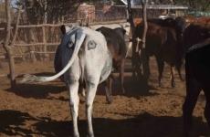cow eyes