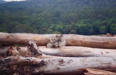 Koalas sitting on fallen trees