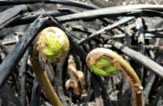 Ferns sprouting after bushfire