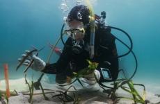 Giulia Ferretto planting Posidonia australis underwater in Port Stephens