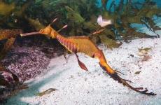 A colourful seahorse swims among the sea life