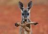 02 kangaroo  0