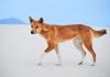 Dingo walking on sand